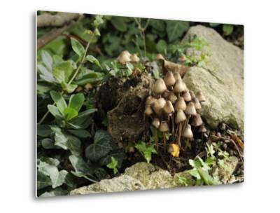 Granny's Bonnets Fungi (Mycena Inclinata) Growing from Rotten Treestump, Wiltshire, England-Nick Upton-Metal Print