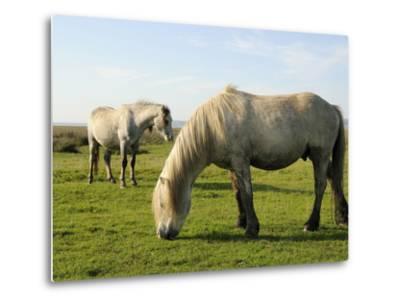 Two Welsh Mountain Ponies (Equus Caballus), Llanrhidian Salt Marshes, Gower Peninsula, Wales-Nick Upton-Metal Print