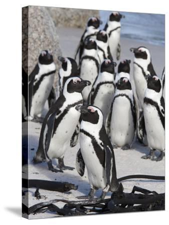African Penguins (Spheniscus Demersus), Table Mountain National Park, Cape Town, South Africa-Ann & Steve Toon-Stretched Canvas Print