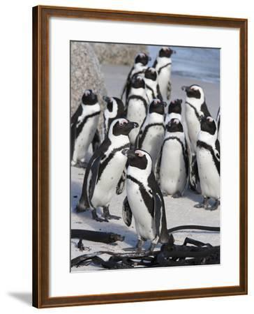 African Penguins (Spheniscus Demersus), Table Mountain National Park, Cape Town, South Africa-Ann & Steve Toon-Framed Photographic Print