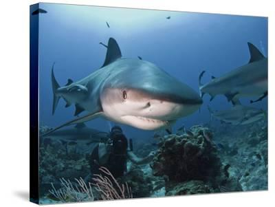 Caribbean Reef Shark (Carcharhinus Perezii) Swimming with Diver, Roatan, Bay Islands, Honduras-Antonio Busiello-Stretched Canvas Print