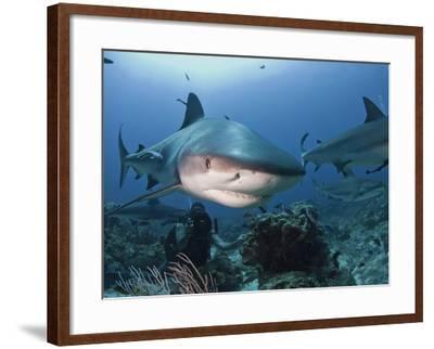 Caribbean Reef Shark (Carcharhinus Perezii) Swimming with Diver, Roatan, Bay Islands, Honduras-Antonio Busiello-Framed Photographic Print
