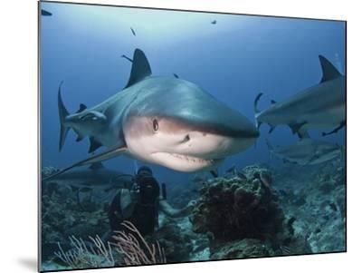 Caribbean Reef Shark (Carcharhinus Perezii) Swimming with Diver, Roatan, Bay Islands, Honduras-Antonio Busiello-Mounted Photographic Print