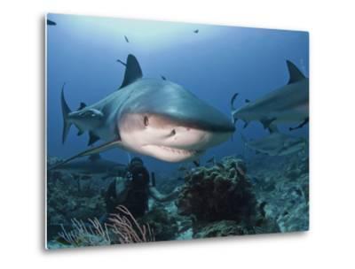 Caribbean Reef Shark (Carcharhinus Perezii) Swimming with Diver, Roatan, Bay Islands, Honduras-Antonio Busiello-Metal Print
