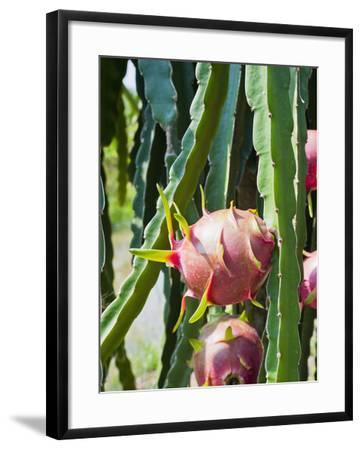 Dragon Fruit at a Fruit Farm, Mekong Delta, Vietnam, Indochina, Southeast Asia, Asia-Matthew Williams-Ellis-Framed Photographic Print