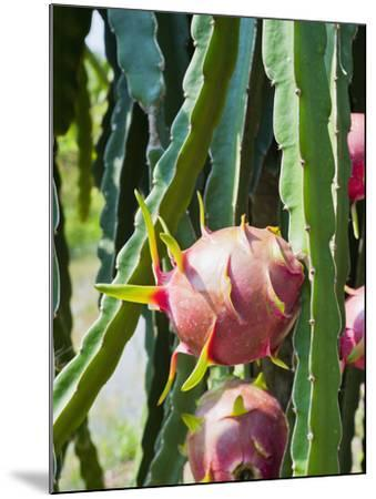Dragon Fruit at a Fruit Farm, Mekong Delta, Vietnam, Indochina, Southeast Asia, Asia-Matthew Williams-Ellis-Mounted Photographic Print