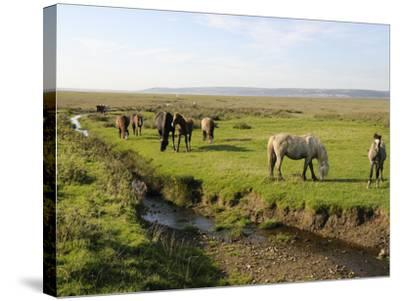 Welsh Mountain Ponies (Equus Caballus) Grazing, Llanrhidian Salt Marshes, Gower Peninsula, Wales-Nick Upton-Stretched Canvas Print