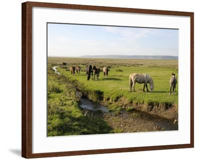 Welsh Mountain Ponies (Equus Caballus) Grazing, Llanrhidian Salt Marshes, Gower Peninsula, Wales-Nick Upton-Framed Photographic Print