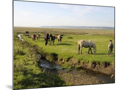 Welsh Mountain Ponies (Equus Caballus) Grazing, Llanrhidian Salt Marshes, Gower Peninsula, Wales-Nick Upton-Mounted Photographic Print