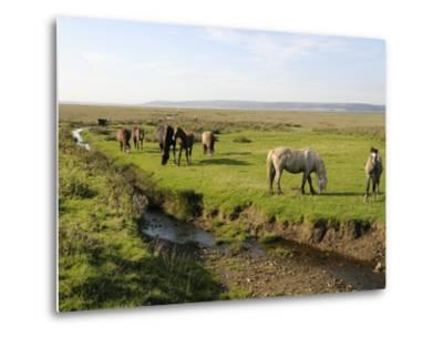 Welsh Mountain Ponies (Equus Caballus) Grazing, Llanrhidian Salt Marshes, Gower Peninsula, Wales-Nick Upton-Metal Print