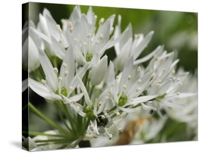 Close-Up of Wild Garlic (Ramsons) (Allium Ursinum) Carpeting Woodland Floor, Wiltshire, England, UK-Nick Upton-Stretched Canvas Print