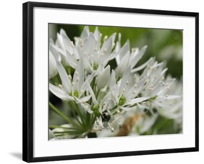 Close-Up of Wild Garlic (Ramsons) (Allium Ursinum) Carpeting Woodland Floor, Wiltshire, England, UK-Nick Upton-Framed Photographic Print