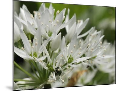 Close-Up of Wild Garlic (Ramsons) (Allium Ursinum) Carpeting Woodland Floor, Wiltshire, England, UK-Nick Upton-Mounted Photographic Print