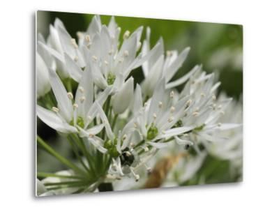 Close-Up of Wild Garlic (Ramsons) (Allium Ursinum) Carpeting Woodland Floor, Wiltshire, England, UK-Nick Upton-Metal Print