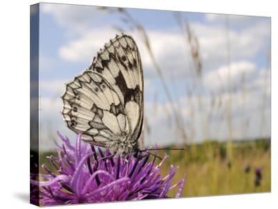 Marbled White Butterfly (Melanargia Galathea)/Greater Knapweed Flower (Centaurea Scabiosa), England-Nick Upton-Stretched Canvas Print
