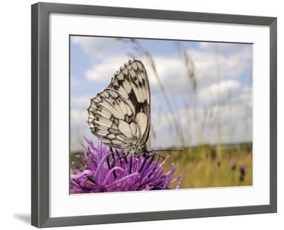 Marbled White Butterfly (Melanargia Galathea)/Greater Knapweed Flower (Centaurea Scabiosa), England-Nick Upton-Framed Photographic Print