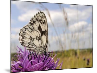 Marbled White Butterfly (Melanargia Galathea)/Greater Knapweed Flower (Centaurea Scabiosa), England-Nick Upton-Mounted Photographic Print