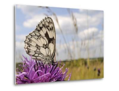 Marbled White Butterfly (Melanargia Galathea)/Greater Knapweed Flower (Centaurea Scabiosa), England-Nick Upton-Metal Print