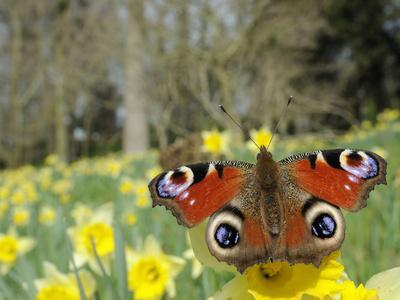 Peacock Butterfly (Inachis Io) on Wild Daffodil (Narcissus Pseudonarcissus), Wiltshire, England-Nick Upton-Framed Photographic Print