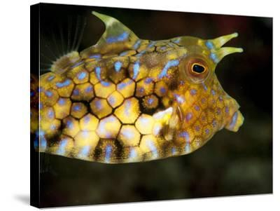Longhorn Cowfish (Lactoria Conuta), Sulawesi, Indonesia, Southeast Asia, Asia-Lisa Collins-Stretched Canvas Print