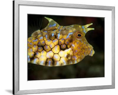 Longhorn Cowfish (Lactoria Conuta), Sulawesi, Indonesia, Southeast Asia, Asia-Lisa Collins-Framed Photographic Print