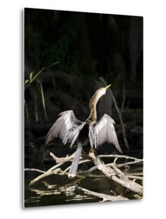 Anhinga (Anhinga Anhinga), Everglades, UNESCO World Heritage Site, Florida, USA, North America-Michael DeFreitas-Metal Print