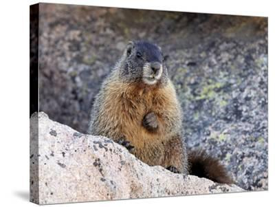 Yellow-Bellied Marmot (Marmota Flaviventris), Arapaho-Roosevelt Nat'l Forest, Colorado, USA-James Hager-Stretched Canvas Print