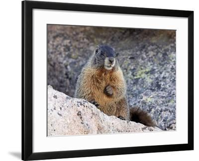 Yellow-Bellied Marmot (Marmota Flaviventris), Arapaho-Roosevelt Nat'l Forest, Colorado, USA-James Hager-Framed Photographic Print