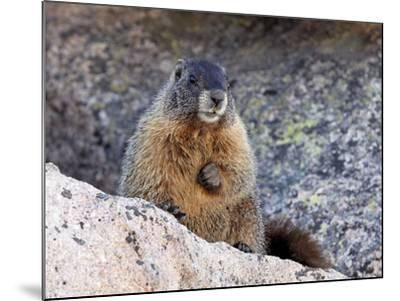 Yellow-Bellied Marmot (Marmota Flaviventris), Arapaho-Roosevelt Nat'l Forest, Colorado, USA-James Hager-Mounted Photographic Print