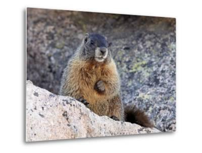 Yellow-Bellied Marmot (Marmota Flaviventris), Arapaho-Roosevelt Nat'l Forest, Colorado, USA-James Hager-Metal Print