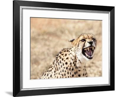 Snarling Cheetah (Acynonix Jubatus) Showing Teeth, Kalahari Plains, Namibia, Africa-Kim Walker-Framed Photographic Print