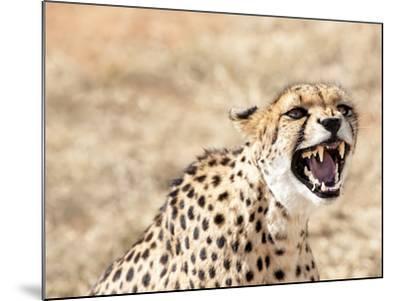 Snarling Cheetah (Acynonix Jubatus) Showing Teeth, Kalahari Plains, Namibia, Africa-Kim Walker-Mounted Photographic Print
