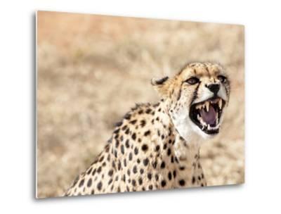 Snarling Cheetah (Acynonix Jubatus) Showing Teeth, Kalahari Plains, Namibia, Africa-Kim Walker-Metal Print