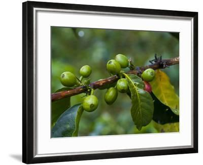 Coffee Beans, Highlands, Papua New Guinea, Pacific-Michael Runkel-Framed Photographic Print