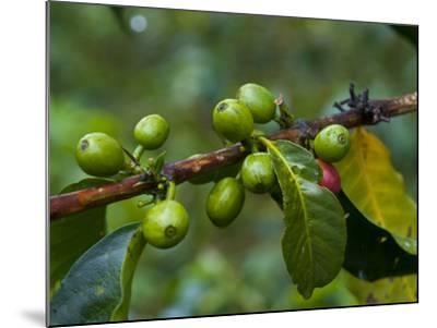 Coffee Beans, Highlands, Papua New Guinea, Pacific-Michael Runkel-Mounted Photographic Print