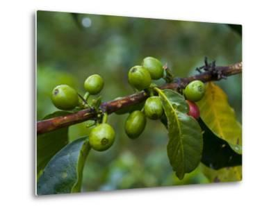 Coffee Beans, Highlands, Papua New Guinea, Pacific-Michael Runkel-Metal Print