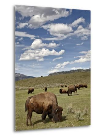 Bison (Bison Bison) Cows Grazing, Yellowstone Nat'l Park, UNESCO World Heritage Site, Wyoming, USA-James Hager-Metal Print