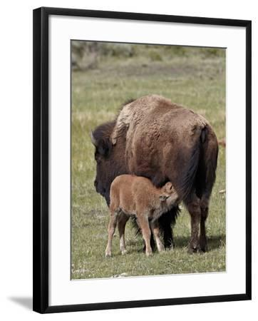 Bison (Bison Bison) Cow Nursing Her Calf, Yellowstone National Park, Wyoming, USA, North America-James Hager-Framed Photographic Print