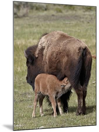 Bison (Bison Bison) Cow Nursing Her Calf, Yellowstone National Park, Wyoming, USA, North America-James Hager-Mounted Photographic Print