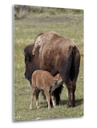 Bison (Bison Bison) Cow Nursing Her Calf, Yellowstone National Park, Wyoming, USA, North America-James Hager-Metal Print