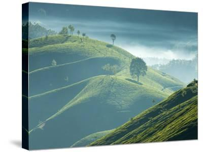 Early Morning Mist over Tea Plantations, Near Munnar, Kerala, India, Asia-Stuart Black-Stretched Canvas Print