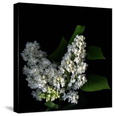 White Lilac 9-Magda Indigo-Stretched Canvas Print