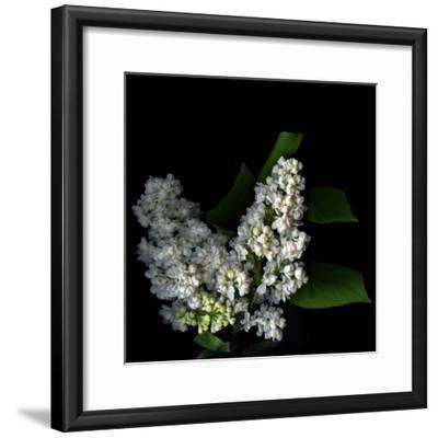 White Lilac 9-Magda Indigo-Framed Photographic Print