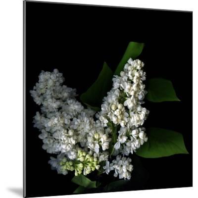 White Lilac 9-Magda Indigo-Mounted Photographic Print