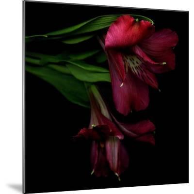 Alstroemeria 4-Magda Indigo-Mounted Photographic Print
