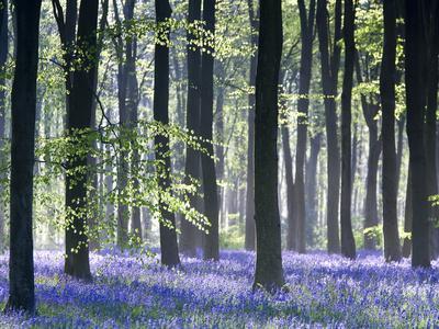 Bluebell Vision-Doug Chinnery-Premium Photographic Print