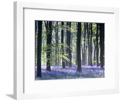 Bluebell Vision-Doug Chinnery-Framed Premium Photographic Print