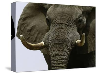 What a Hunk-Art Wolfe-Stretched Canvas Print