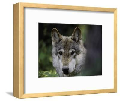 Watchful 2-Art Wolfe-Framed Photographic Print