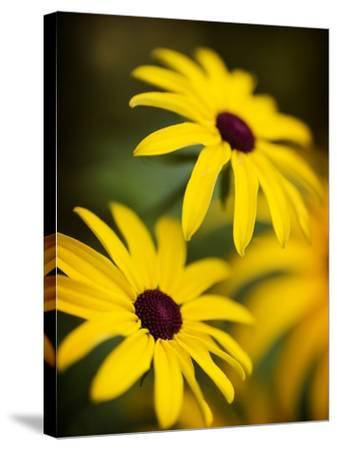Daisy Face-Doug Chinnery-Stretched Canvas Print